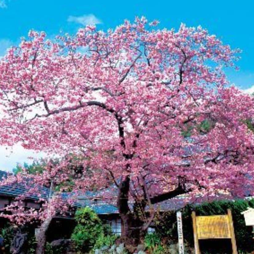 開花 河津 状況 桜