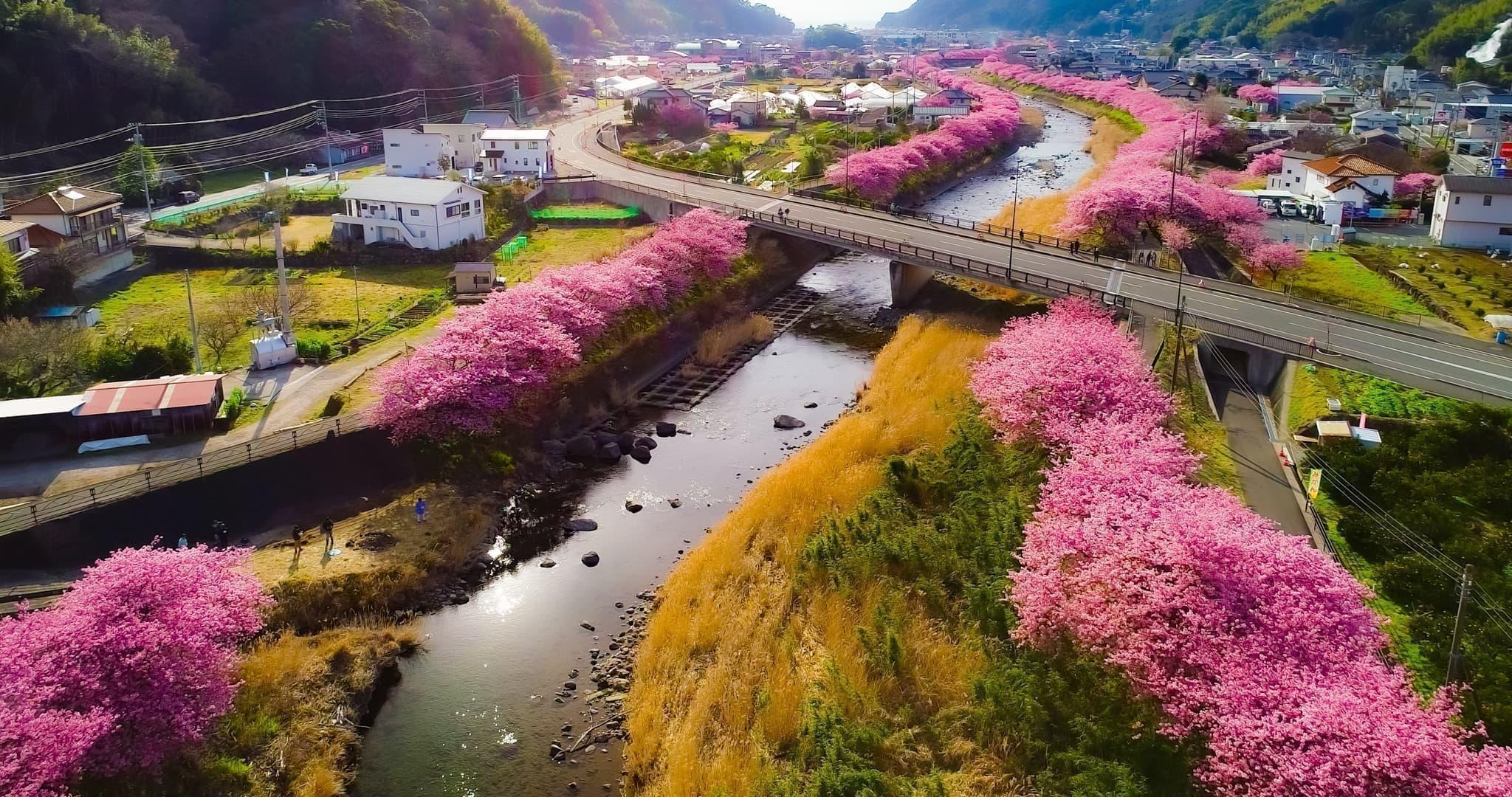 河津桜まつり 2020